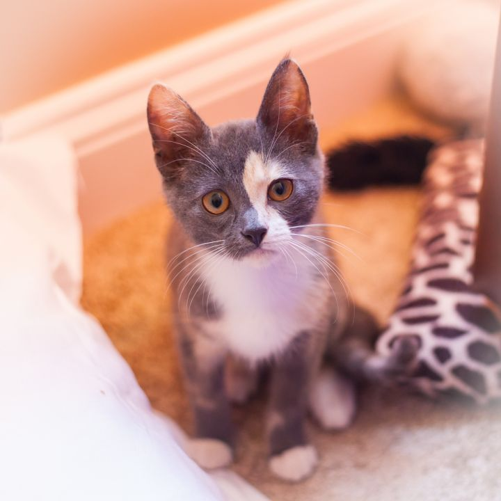Harley Quinn, an adopted Calico in Ponte Vedra, FL
