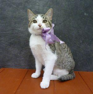 Sateen - Ultra Lap Kitten - Bobtail