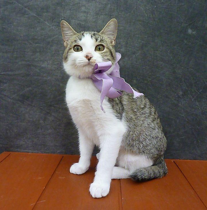 Sateen - Ultra Lap Kitten - Bobtail 1