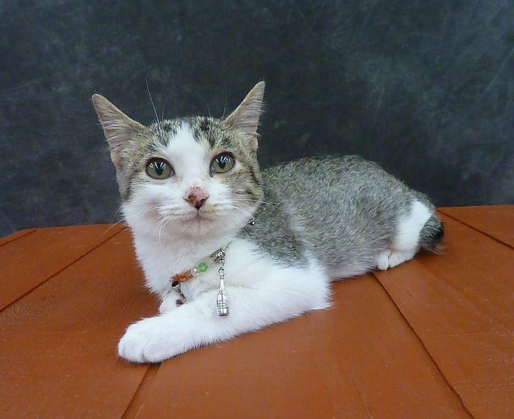 Sateen - Ultra Lap Kitten - Bobtail 2