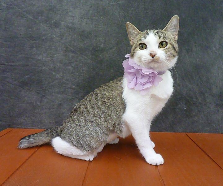 Sateen - Ultra Lap Kitten - Bobtail 3