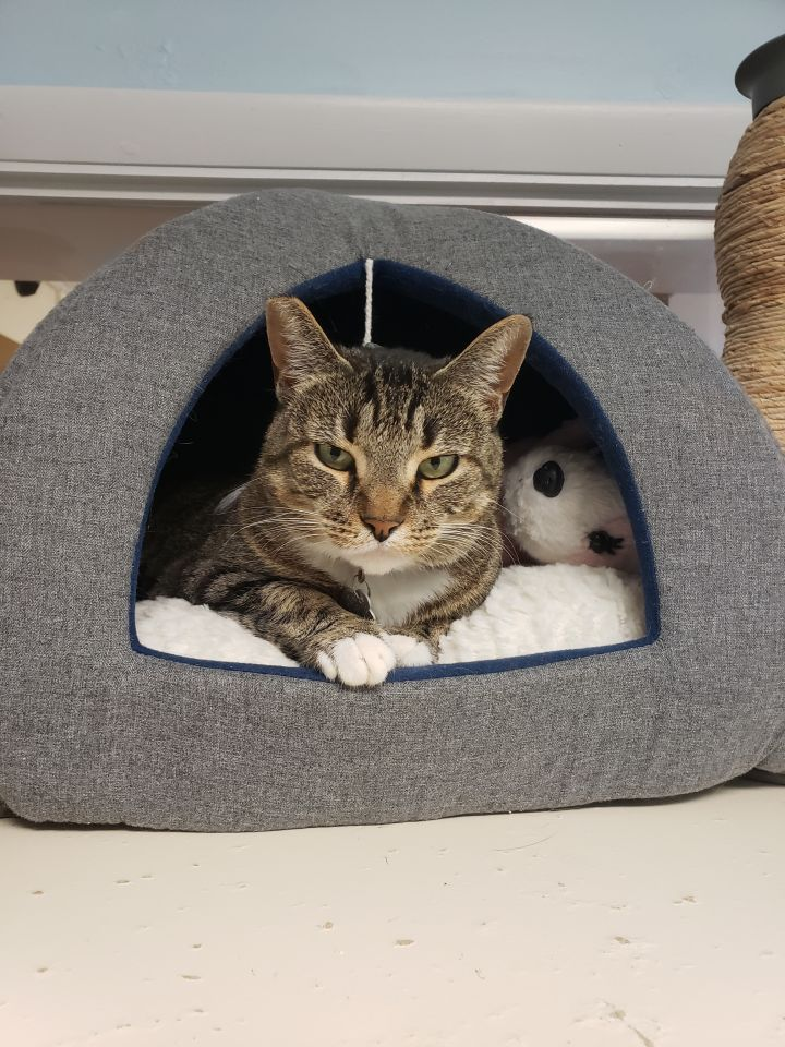 Cat For Adoption Figgy A Domestic Short Hair In Danbury