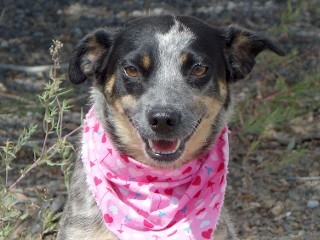 Cally, an adopted Australian Cattle Dog / Blue Heeler Mix in Anaconda, MT