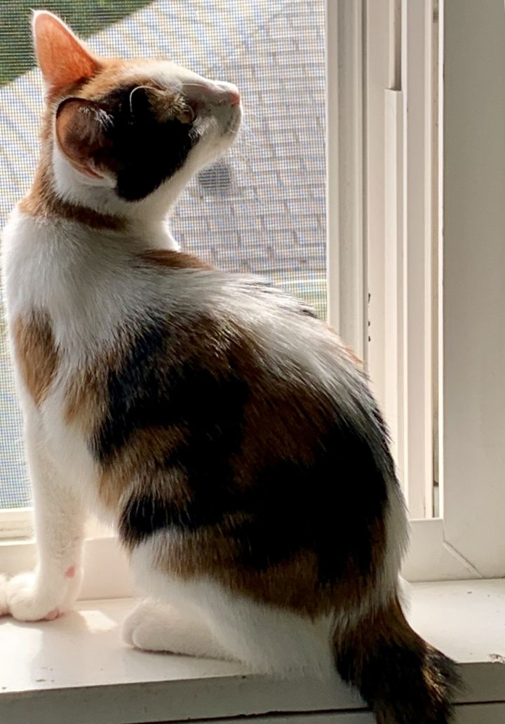 Pixie **KITTEN**, an adoptable Calico in Waverly, IA