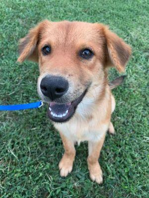 Dog for adoption - Bear, a Chow Chow & Labrador Retriever