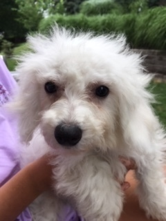 Dog for adoption - Bichon Frise - Clementine, a Bichon Frise