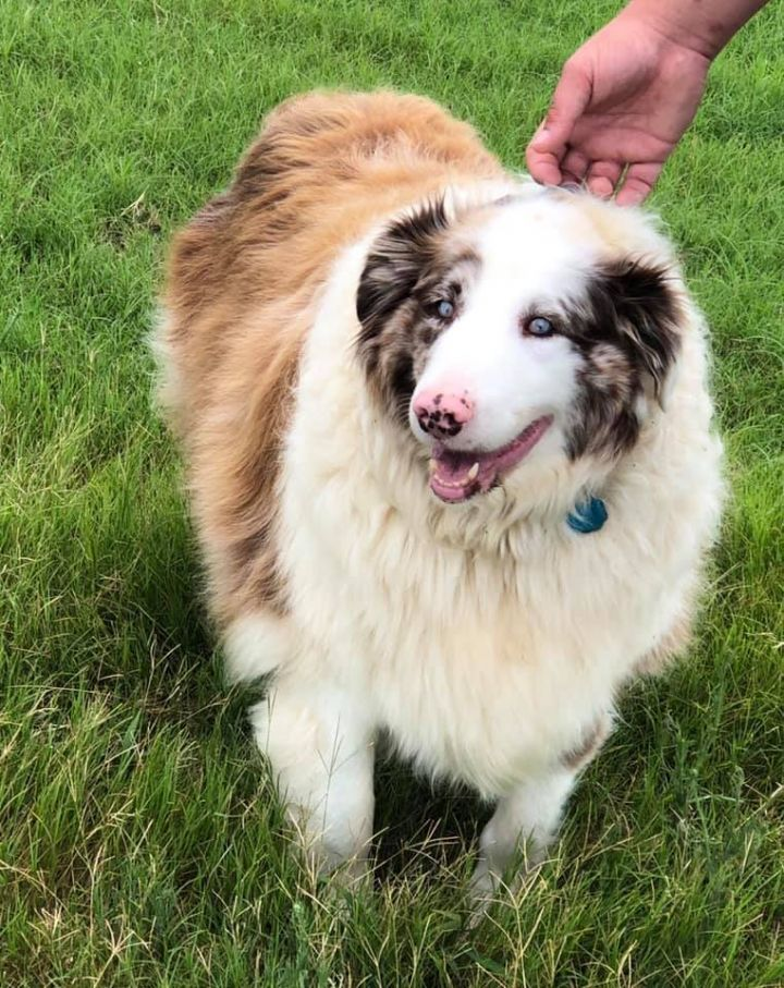 Waylon, an adoptable Australian Shepherd in Perry, GA