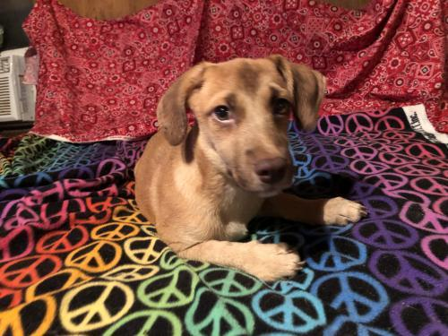 BINDY BARKLEY, an adopted Dachshund & Terrier Mix in Staten Island, NY