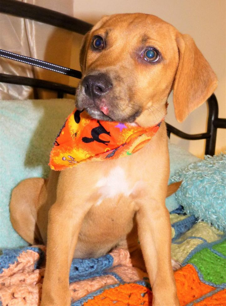 Ova, an adopted Labrador Retriever & Pit Bull Terrier Mix in Jacksonville, FL
