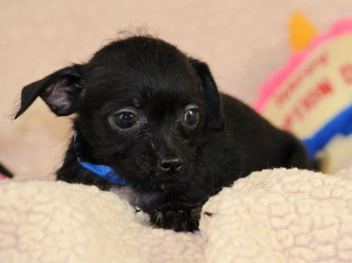 Dog For Adoption Pico A Poodle Chihuahua Mix In