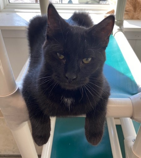 Amos, an adoptable Domestic Short Hair in Geneseo, IL