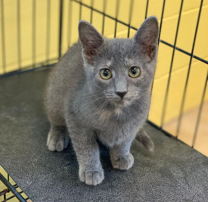 Cat for adoption - Grey Eagle, a Dilute Calico Mix in