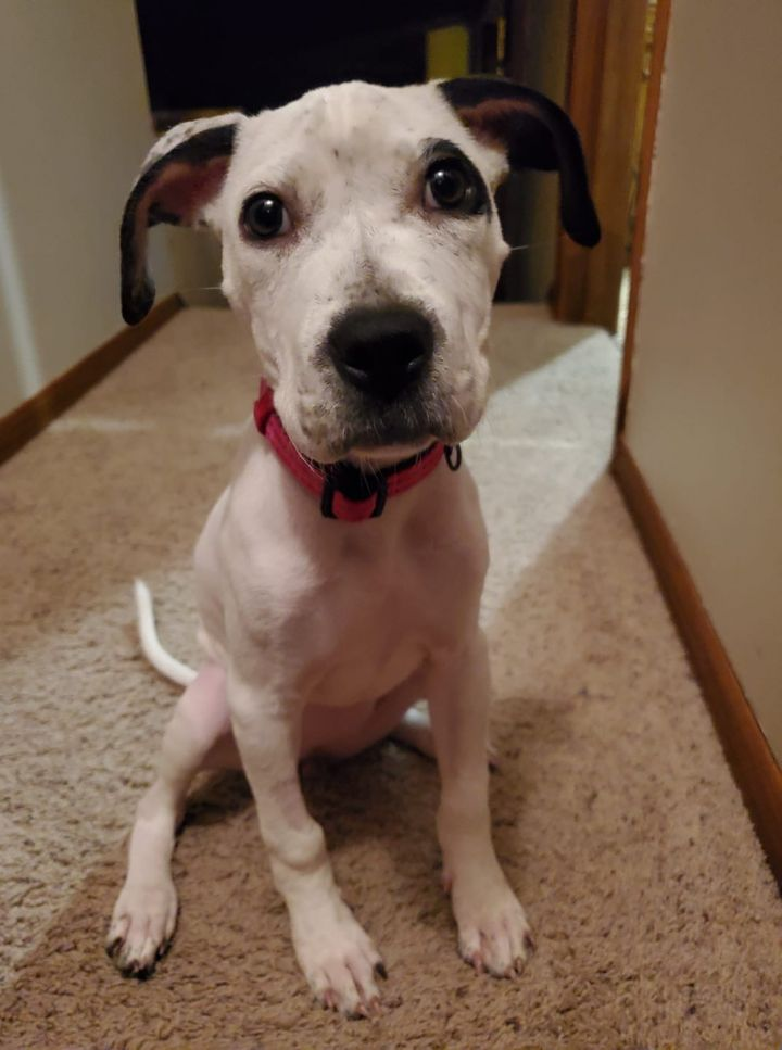 Topanga, an adopted American Staffordshire Terrier & Pit Bull Terrier Mix in Saint Paul, MN