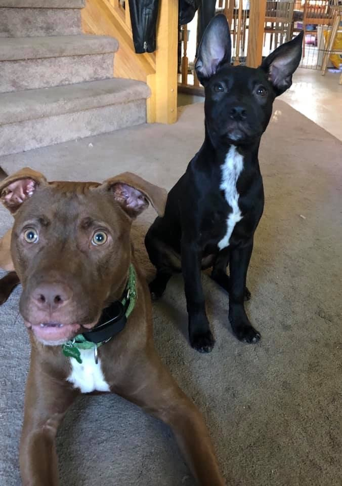 Mauer *Adoption Fee Waived, an adopted American Staffordshire Terrier & Pit Bull Terrier Mix in Saint Paul, MN
