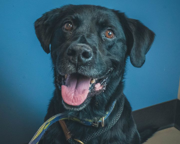 Diesel, an adopted Labrador Retriever in Bellingham, WA
