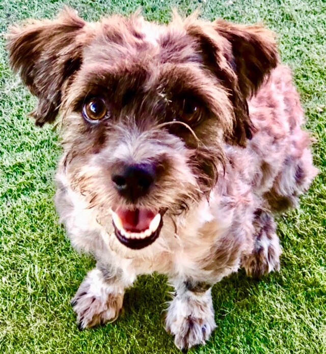Dog for adoption - Braxy Hypoallergenic, a Schnauzer