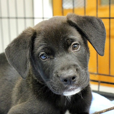 Charming Colby, an adopted Retriever Mix in Reston, VA