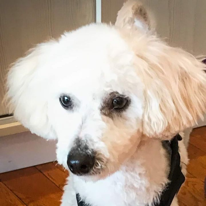 Dog for adoption - RICKY, a Bichon Frise & Poodle Mix in