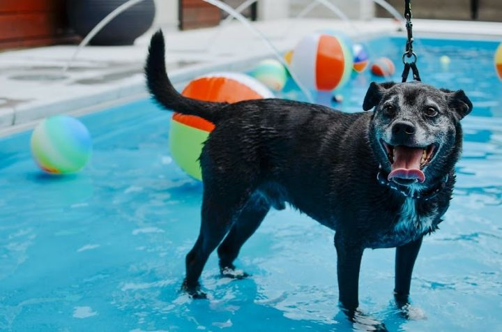 Brutus, an adoptable Labrador Retriever Mix in Springfield, MO