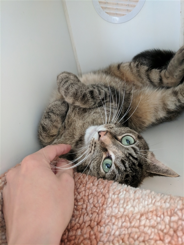 Gina, an adoptable Domestic Short Hair Mix in Columbus, OH