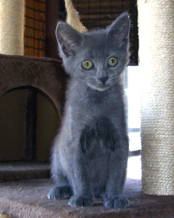 GRACIE, an adopted Russian Blue in Fairfield, CA