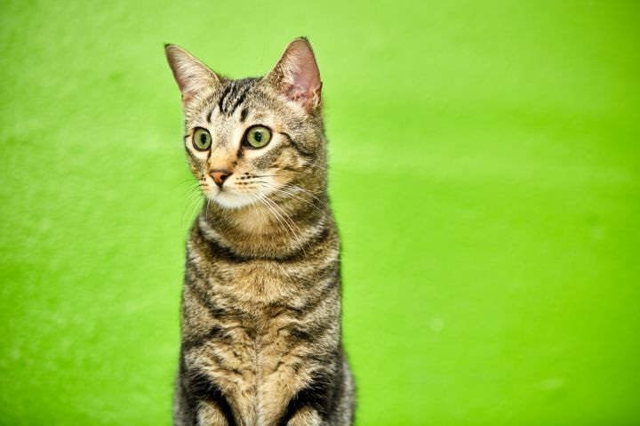 Balthazar, an adopted Domestic Short Hair in Los Angeles, CA
