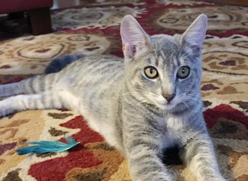 Afton, an adoptable Tabby & Domestic Short Hair Mix in Springfield, OR