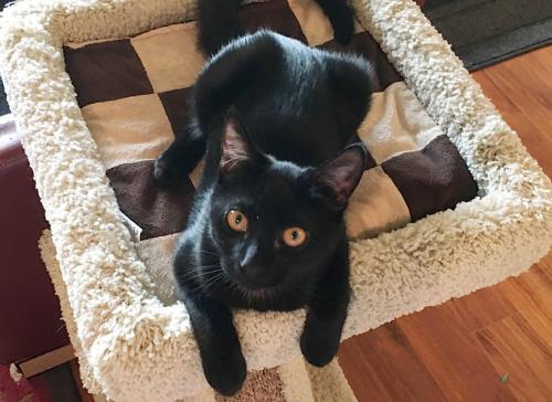 Sheena, an adoptable Domestic Short Hair Mix in Springfield, OR