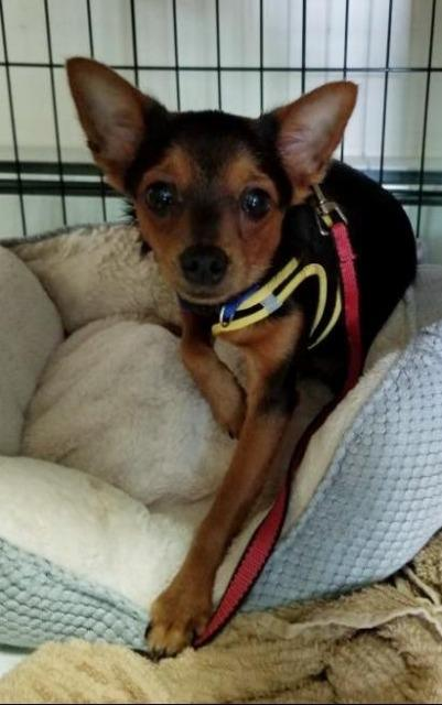 Red, an adopted Yorkshire Terrier & Pomeranian Mix in Glendale, NY