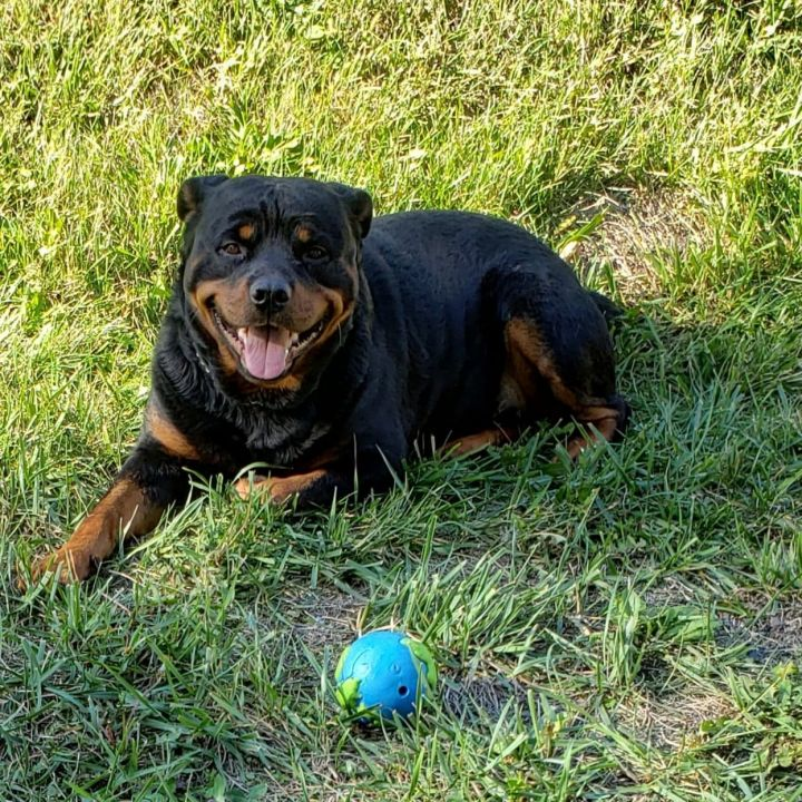 Dodge, an adoptable Rottweiler in Perkasie, PA