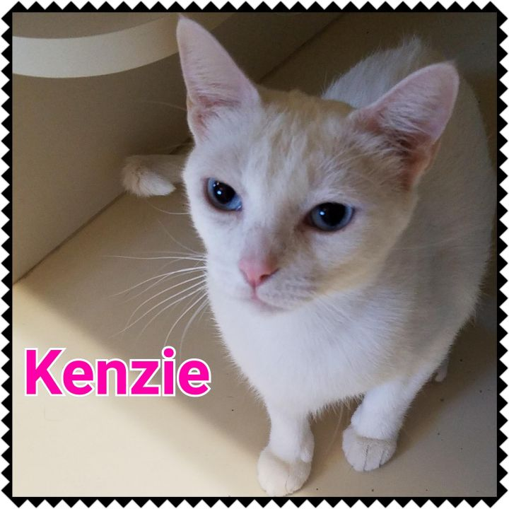 Kenzie, an adoptable Domestic Short Hair in North Saint Paul, MN
