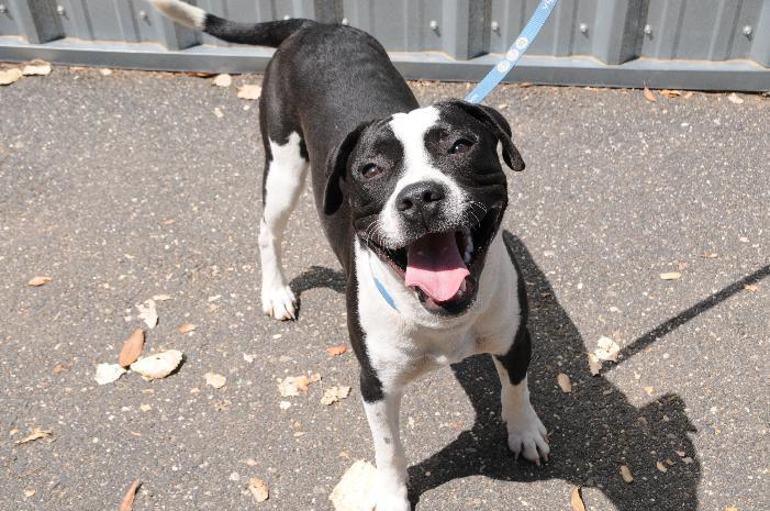 Koda, an adoptable Boxer & Staffordshire Bull Terrier Mix in Jamestown, CA