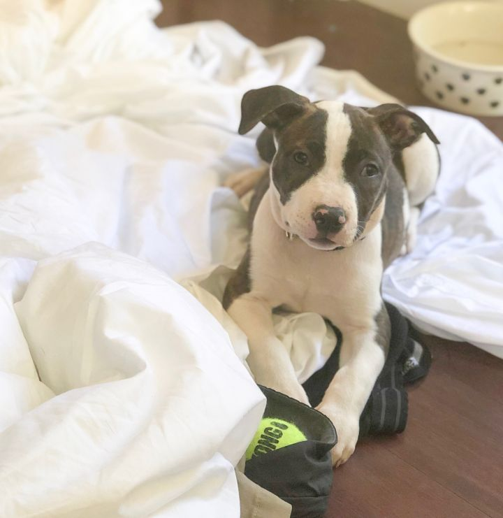 Scarlett, an adopted American Staffordshire Terrier in Oakland, CA