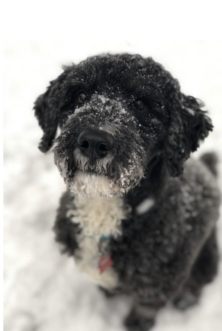 Dog For Adoption Orion In Maine A Poodle Labrador