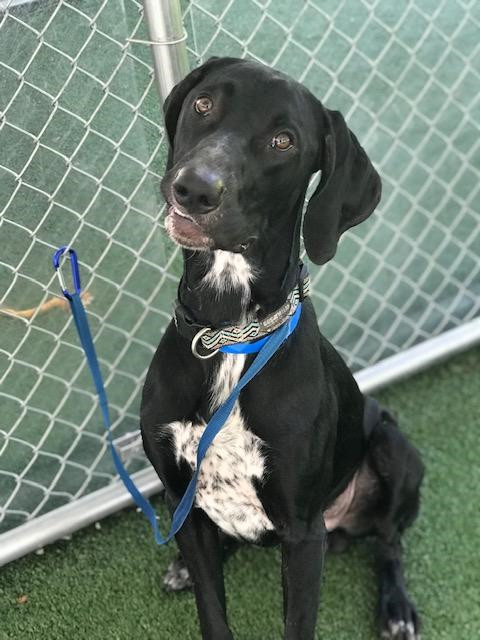 JORGE, an adopted German Shorthaired Pointer Mix in Marietta, GA