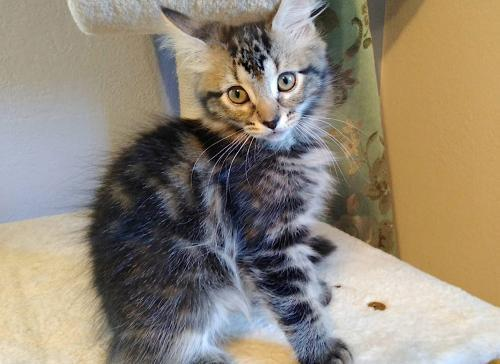 Havarti, an adoptable Tabby & Domestic Medium Hair Mix in Springfield, OR