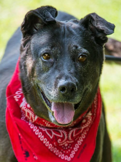 Kaytie, an adoptable Labrador Retriever & Australian Cattle Dog / Blue Heeler Mix in Alpharetta, GA