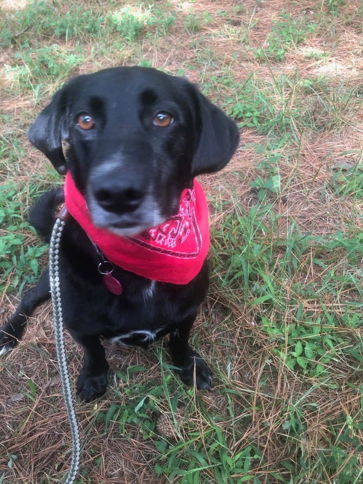 Harley, an adopted Labrador Retriever Mix in Clayton, NC
