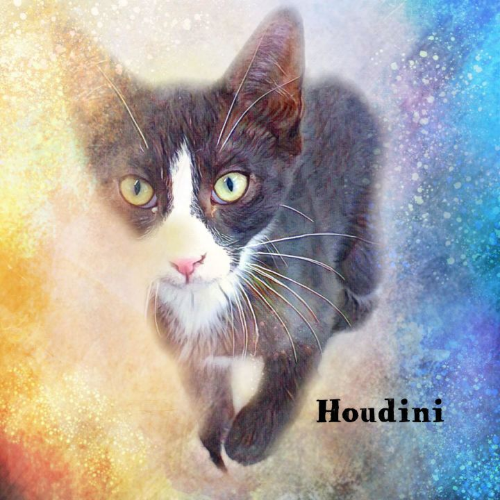 HOUDINI, an adopted Domestic Short Hair Mix in Fort Kent, ME