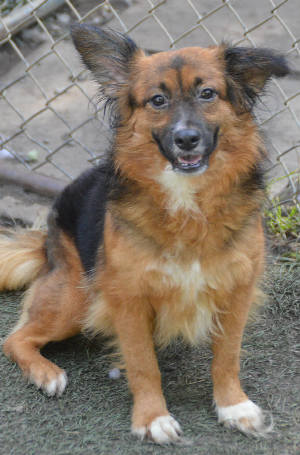 Dog for adoption - Burley, a Shetland Sheepdog / Sheltie Mix