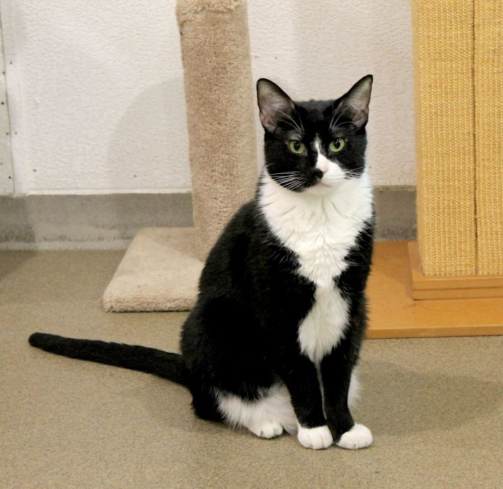 Tux, an adoptable Domestic Short Hair in Boca Raton, FL