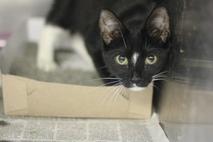 Cat for adoption - Scarlett Witch, a Domestic Short Hair in