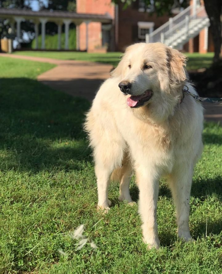Molly, an adoptable Great Pyrenees in Troy, VA