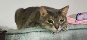 Yuki is a beautiful gray tabby whose initial shyness will give way to him welcom
