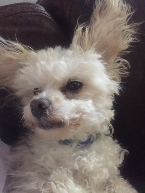Dog for adoption - Camilla and Bonbon, a Bichon Frise in