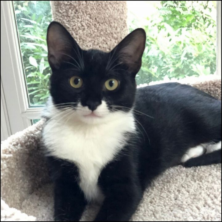 Cosette, an adoptable Domestic Short Hair in Bayside, NY