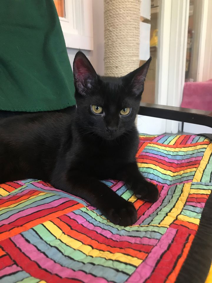 Zoar, an adopted Domestic Short Hair Mix in Ridgefield, CT
