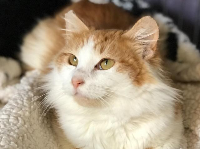 Ivy, an adoptable Domestic Long Hair in Oxnard, CA