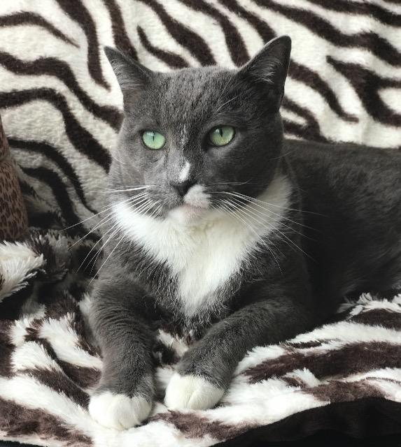 Vincent, an adoptable Domestic Short Hair in Oxnard, CA