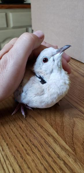 In 2018 Isaac was one of 28 Ringneck doves rescued from an overcrowded unsafe situation He and hi